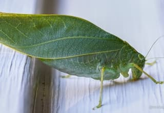 Cavalletta Verde / Greater Angle-wing Katydid